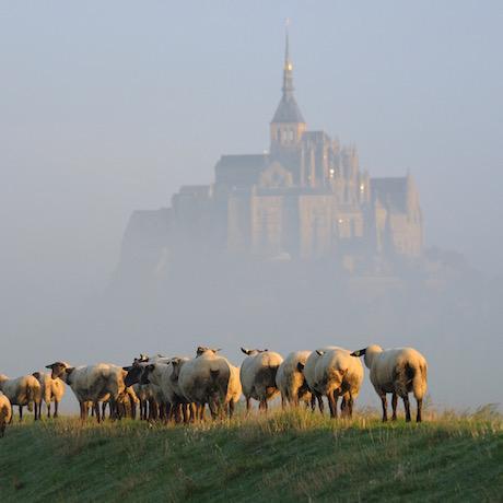 Овцы бухты Мон-Сен-Мишель на фоне аббатства